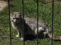 The evil mountain cat at Magura, Brasov