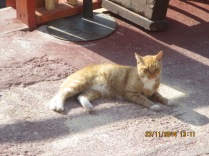 The Momma Cat living in the Popey Village in Malta
