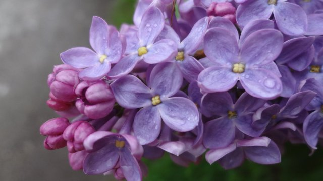 pink_and_purple_lilac_by_annalvg-d65b8ql